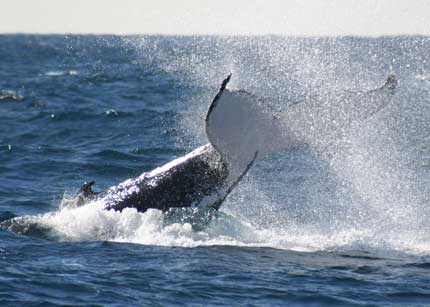 Whale Watching Sydney - Accommodation Gold Coast